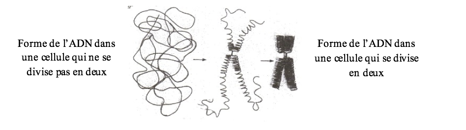forme-adn